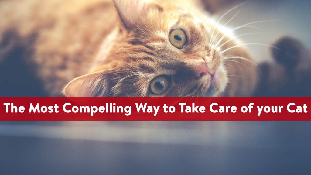The Most Compelling Way to Take Care of your Cat